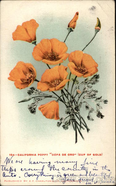 California Poppy Copa de Oro Cup of Gold