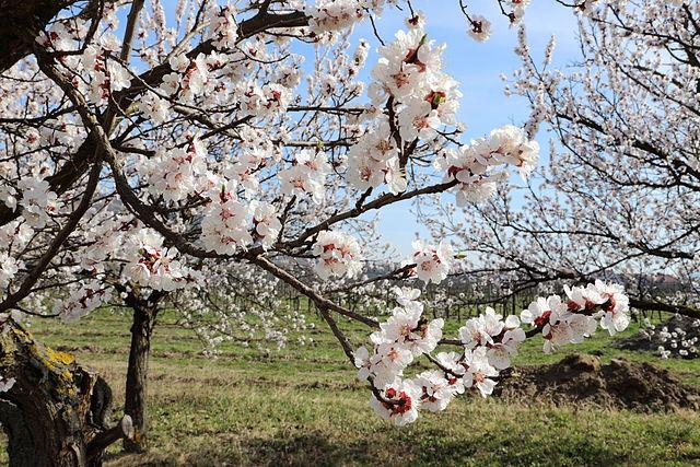 Aprikosenblüten_bzw._Marillenblüten_(Oberloiben)